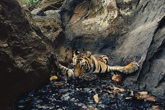 A young tigress, recently pushed out of the pride by her mother, seeks relief from sweltering 120‐degree heat in a pool, despite its fetid brew of rolling leaves and monkey urine. She takes her own picture by breaking an infared beam.