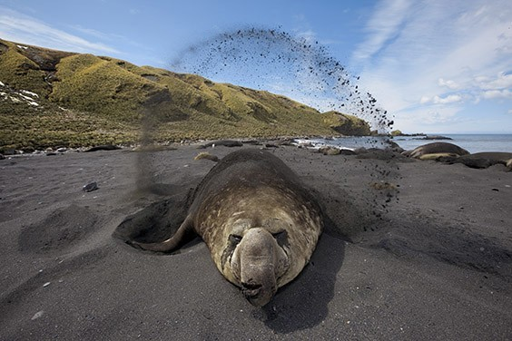 In a rare quiet moment during breeding season, a bull elephant seal throws sand on its back to keep cool. Getting close to the massive, mercurial creatures is a dangerous dance.