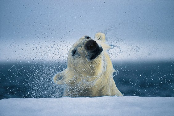 A polar bear shakes off after a dive under the ice.