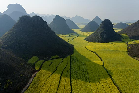 Luoping, China │ 2007 Views of small limestone hills punctuating privately owned fields of rape plants in flower. The rape seed is harvested for cooking oil, the rape stalks are turned into housing insulation, and honey is produced from the flowers by hives of bees brought in by migratory beekeepers.