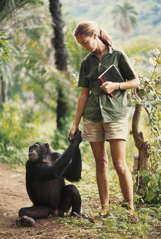 1965 A chimp clasps hands with zoologist Jane Goodall. Dr. Goodall and the Jane Goodall Institute do not endorse handling or interfering with wild chimpanzees.