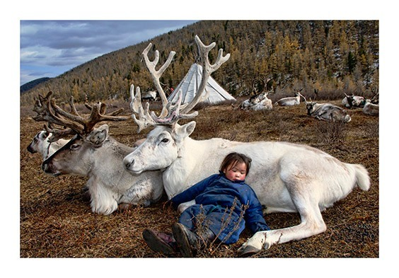Sornuk Valley, Hovsgol Province, Outer Mongolia  A Duhalar child falls asleep on a white reindeer as her mother milks the herd nearby.