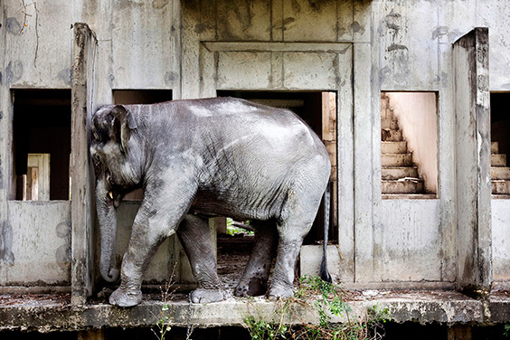 An elephant covered with concrete dust scratches its head on a wall in an abandoned housing development in Bang Bua Thong, Thailand. Part of Lewin's ongoing project, begun in 2007, documenting the plight of the Asian elephant in modern Thailand.