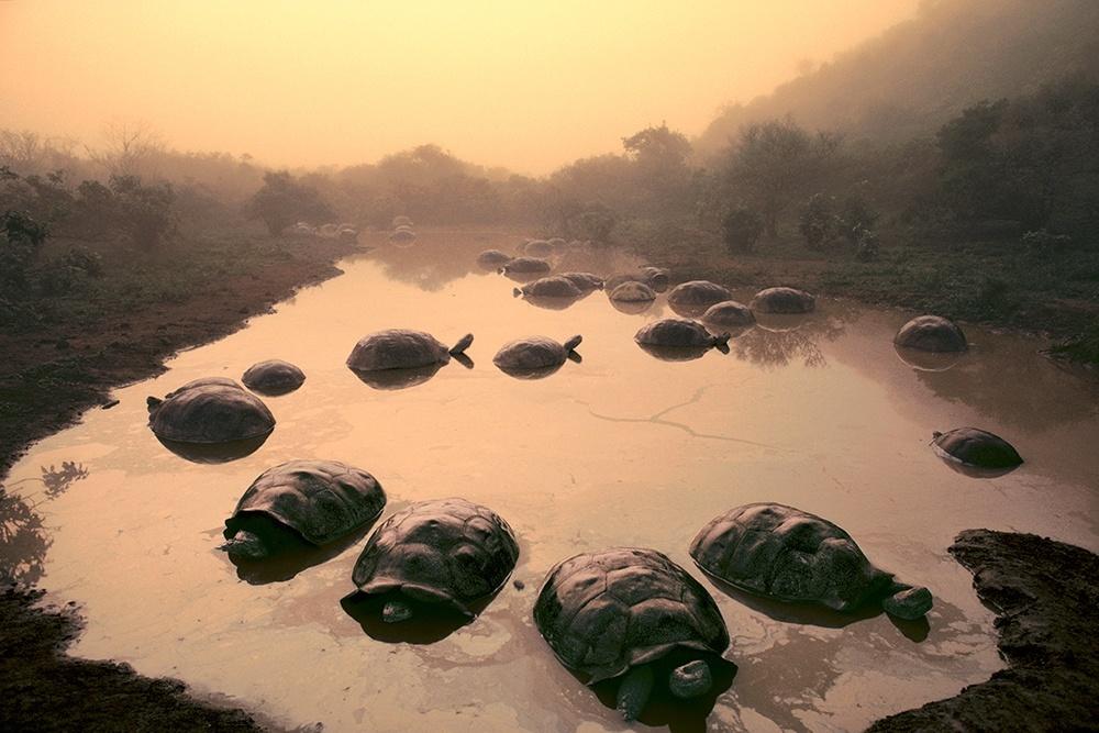 Giant tortoises at Dawn, Galapagos Islands