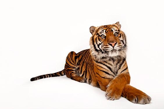 A critically endangered Sumatran tiger (Panthera tigris sondaica) at the Miller Park Zoo, Bloomington, Illinois