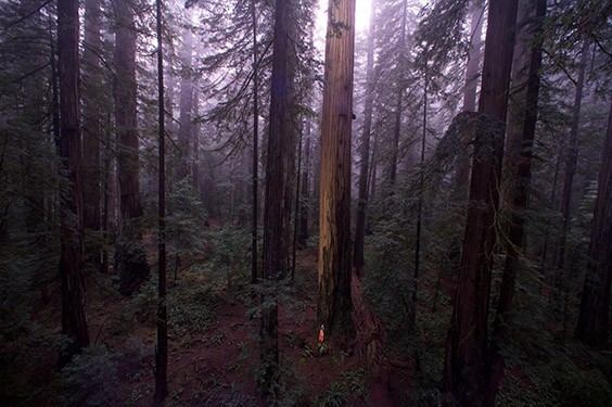 Cathedral silence fills the old‐growth sanctuary of Humboldt Redwoods State Park.