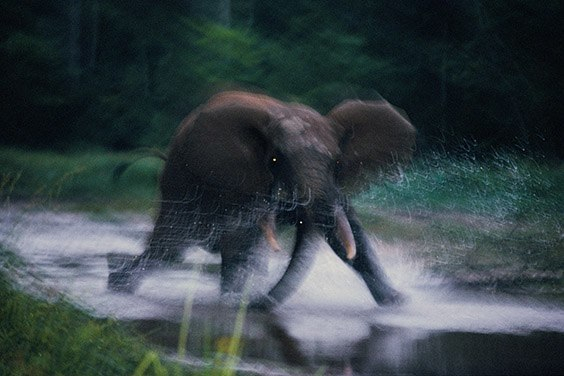 All forest elephants fear humans; this elephant charges in response to the photographer's scent.