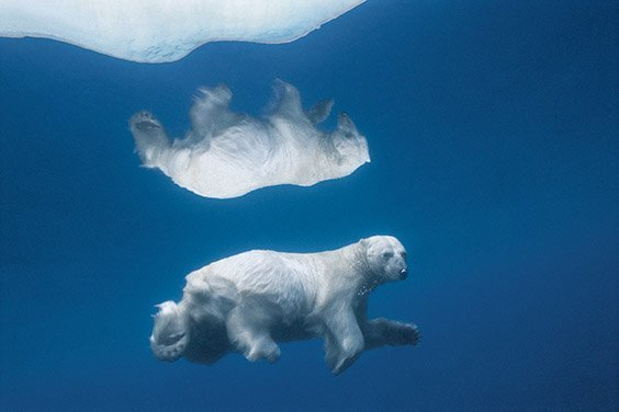 A polar bear swims submerged in Lancaster Sound in the Nunavut Territory of Canada, its image mirrored in the icy water. The continuous loss of ice platforms where polar bears forage has led to shorter hunting seasons, increasingly threatening their survival.