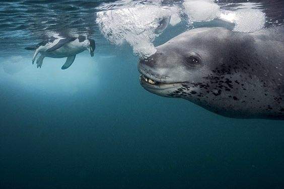 Frustrated that the photographer has refused her offering, the leopard seal blows streams of bubbles.