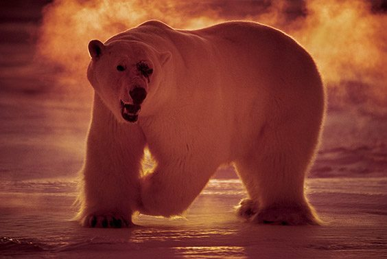 In the land of the midnight sun, a polar bear hunts in ‐40°C temperatures at 3 a.m.