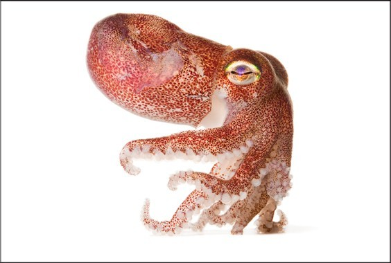 Susan Middleton: Spineless: Portraits of Marine Invertebrates, The Backbone of Life photo